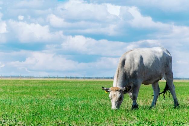 牧草地で放牧牛 Premium写真