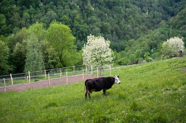 Cow grazing in the meatdown Premium Photo