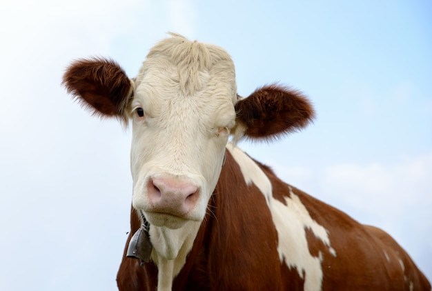 Cow in the mountain pastures Premium Photo