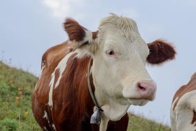 Cow in the mountain pastures Premium Photo