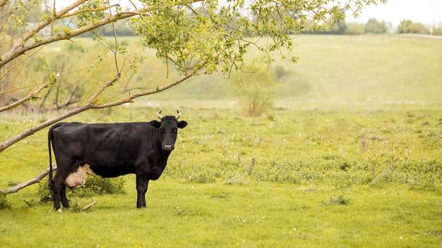 芝生の上の牛 無料写真