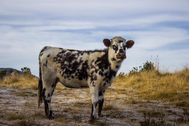 A cow in the sierra nevada del cocuy Premium Photo