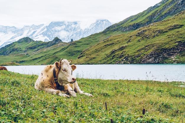 Cow in switzerland alps mountain grindelwald first Premium Photo