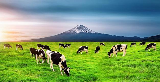 Коровы едят сочную траву на зеленом поле перед горой фудзи, япония. Бесплатные Фотографии