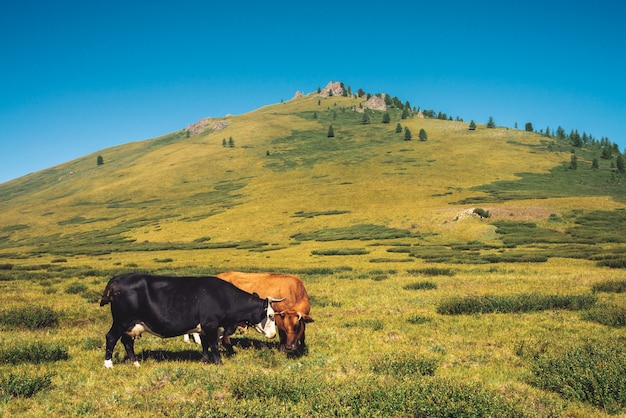 Cows graze in grassland in valley against wonderful giant mountains in sunny day Premium Photo