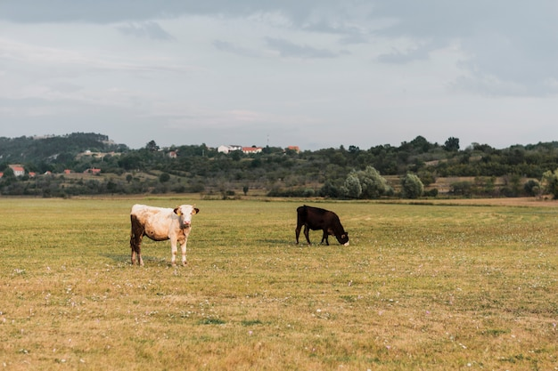 Cows grazing in the field of a countryside Free Photo