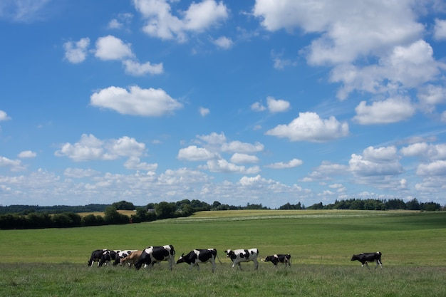 Cows grazing on a green field Premium Photo