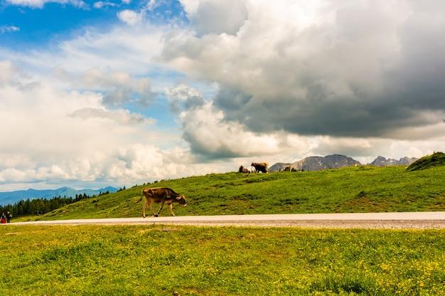 曇り空の下でオーストリアのアルプ山の近くの谷で放牧牛 無料写真