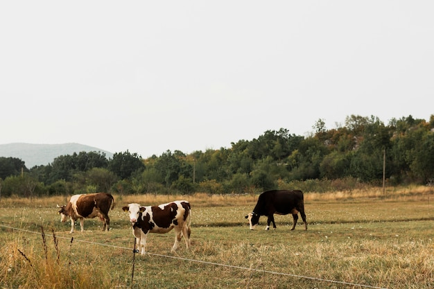 Cows grazing on a pasture in the countryside Free Photo