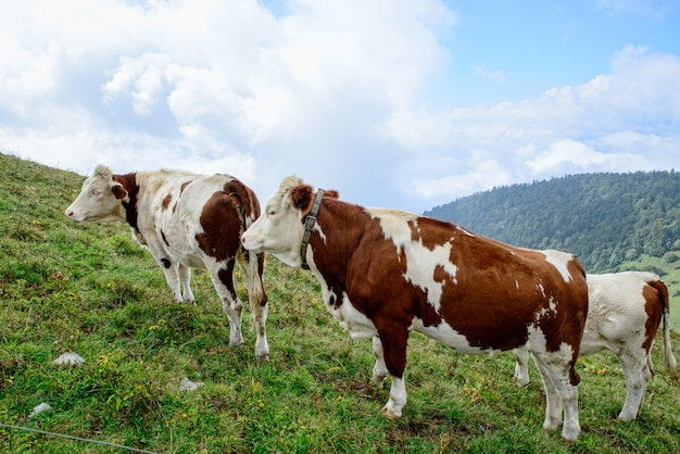 Cows in the mountain pastures Premium Photo