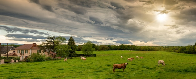 Cows and a threatening cloudy sky. menacing clouds above landscape Premium Photo