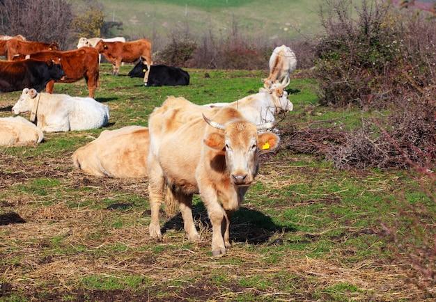 Cows Premium Photo