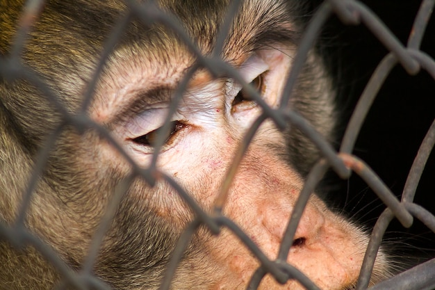 Crab-eating macaque in the zoo Premium Photo