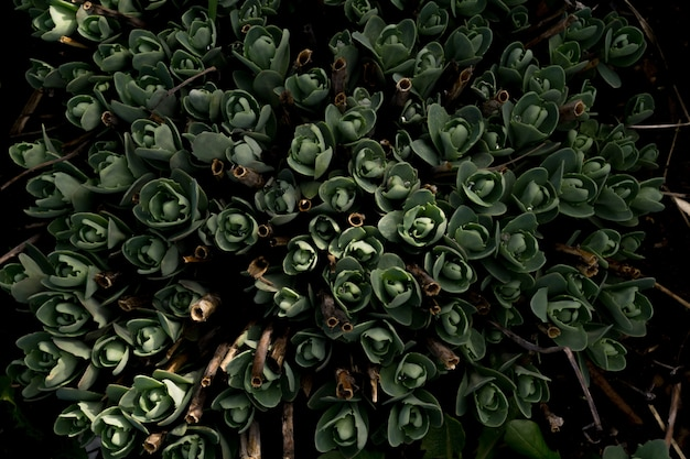 Crassula in the garden Premium Photo