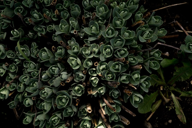 Crassula in the garden Premium Photo