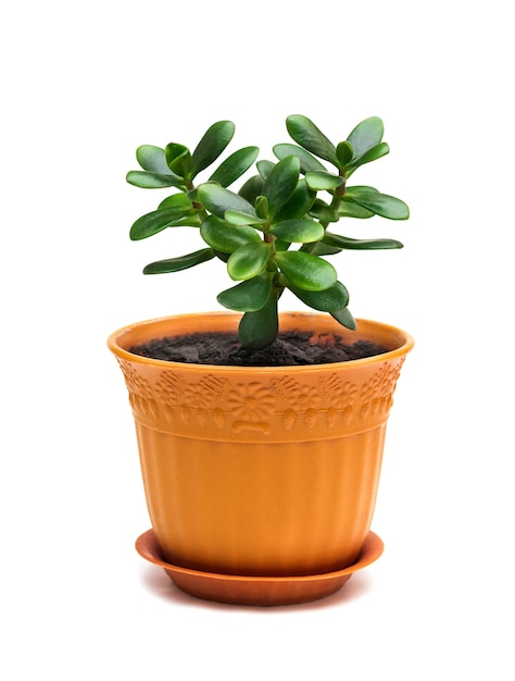 Crassula ovata jade homeplant money tree in brown pot isolated on white Premium Photo