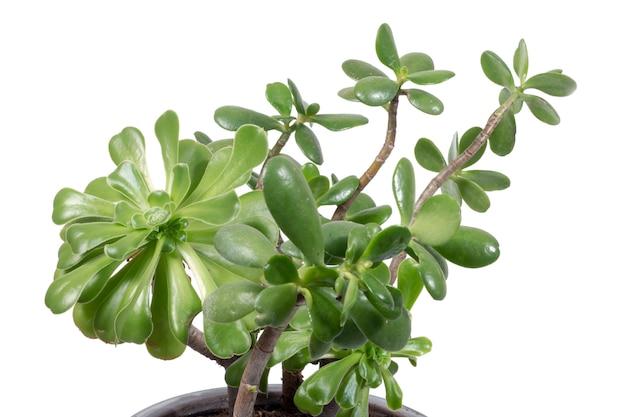 Crassula ovata succulent plant Premium Photo