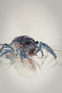 Crayfish  blue Free Photo