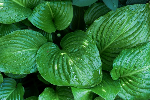 Creative layout made of green leaves after rain with water drops Premium Photo