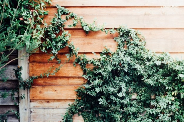 Creeper and a wooden wall Free Photo