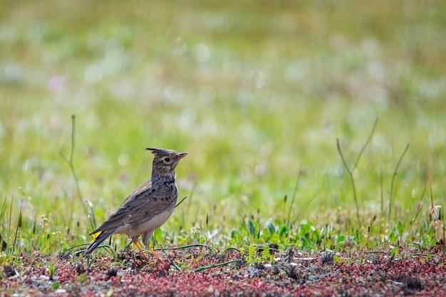 クレステッドヒバリ。その自然環境の中の鳥。 Premium写真