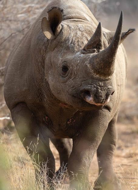 Африканский черный носорог, находящийся под угрозой исчезновения, в восточной африке Premium Фотографии