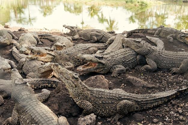 Стая крокодилов на крокодиловой ферме Premium Фотографии