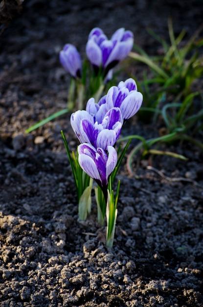 Крокус весенний фиолетовый цветок. цветущий фиолетовый крокус ранней весной. Premium Фотографии