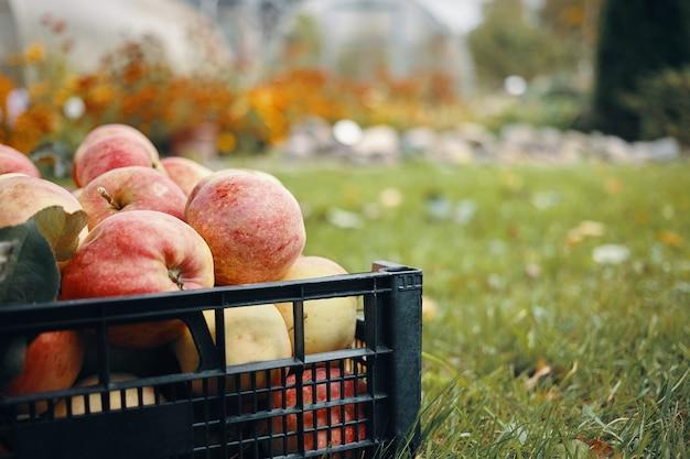 庭の草の上の新鮮な熟した赤みがかったリンゴのトリミングされた肖像画。田舎の緑の芝生でおいしい果物の屋外ショット。ベジタリアン有機食品、収穫、ビタミン、園芸、農業 無料写真