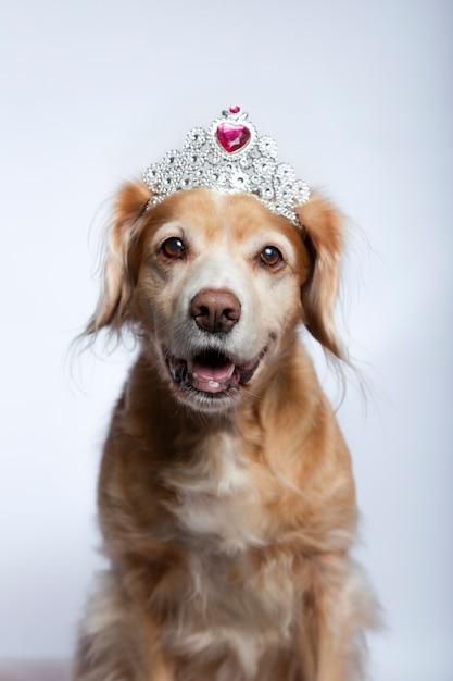 Cross breed dog wearing a princess tiara with fuchsia diamond on white Premium Photo