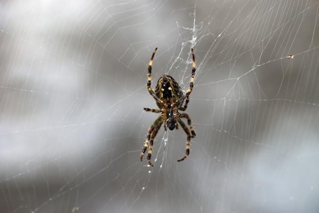 Cross spider (araneus diadematus) Premium Photo