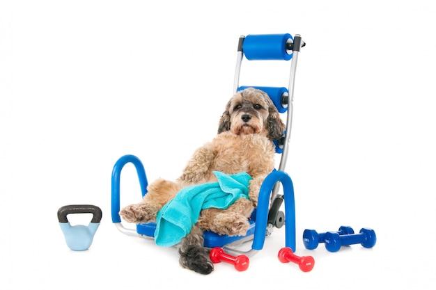 トレーニング後に消耗した、タオルとスポーツ用品を備えた雑種犬。白で隔離 Premium写真