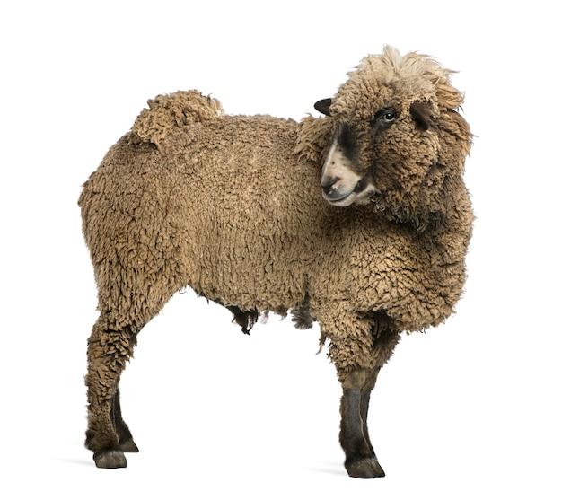 立っている雑種羊 Premium写真