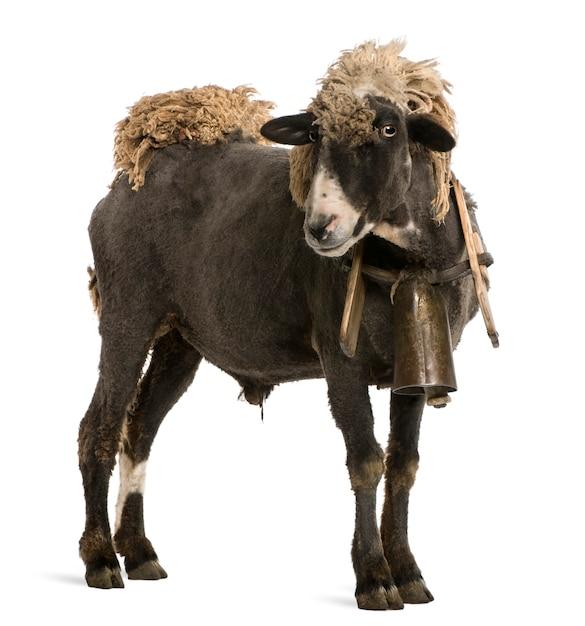 ベルをつけた雑種羊 Premium写真