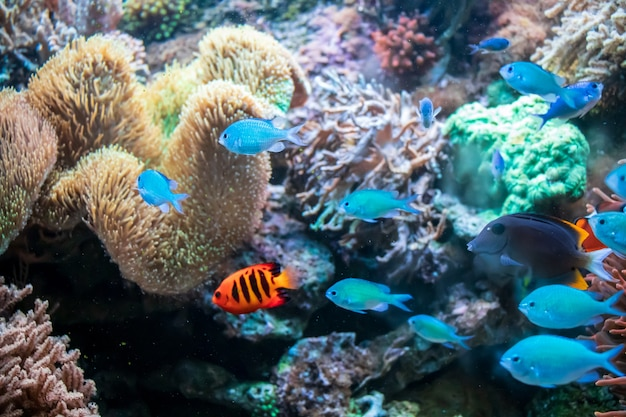 Ctenochaetus tominiensis, flame angelfish, blue malawi cichlids fishes e actinia coral Foto Gratuite