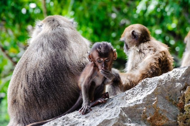 Cub macaca fascicularis sitting on a rock and eat. baby monkeys on the phi phi islands, thailand Premium Photo