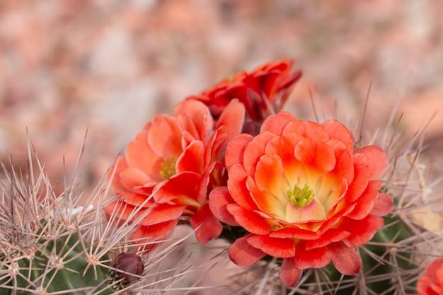Закройте вверх cuctus в цветени с оранжевыми цветками. Premium Фотографии