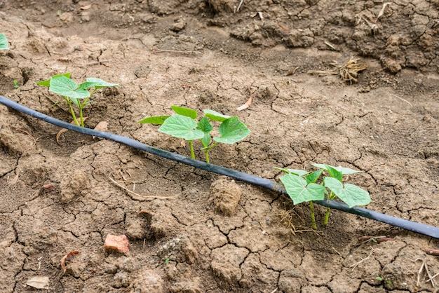 Cucumber field growing with drip irrigation system. Premium Photo