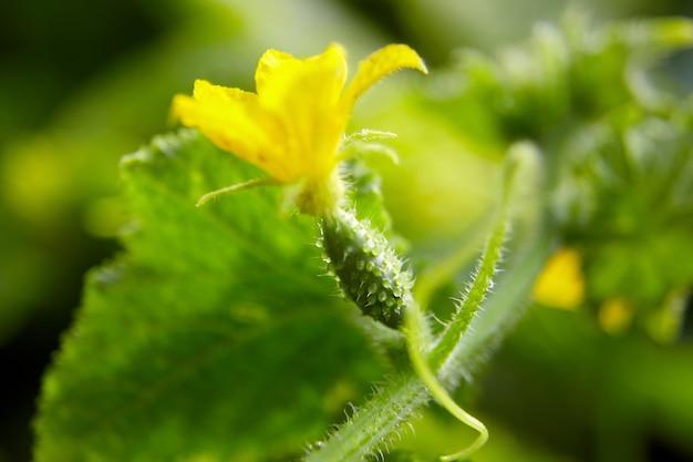 キュウリの卵巣、黄色いガーキンフラワーファーム、野菜の栽培 Premium写真