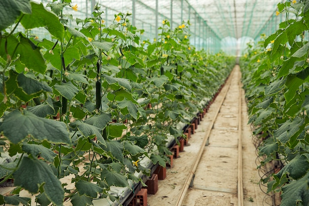 Cucumber plants growing in a greenhouse with narrow road to walk. Free Photo
