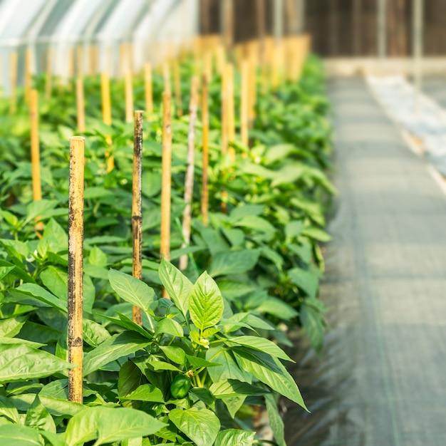 苗床でのピーマンの栽培 Premium写真