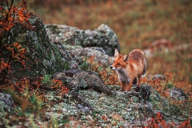 Curious red fox in its natural habitat. Premium Photo