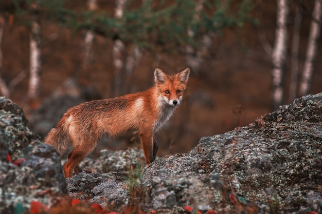Curious red fox in its natural habitat. Premium Photo