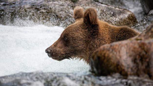 Любопытный ursus arctos, смотрящий вперед в воде, окруженной скалой. Premium Фотографии