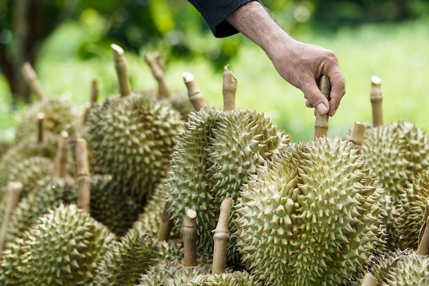 Customers are choosing to buy durian from gardeners in chanthaburi. Premium Photo