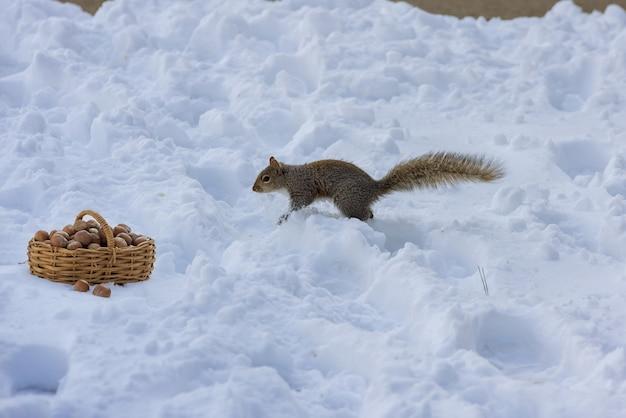 Милая американская белка ест грецкие орехи в зимней сцене Premium Фотографии