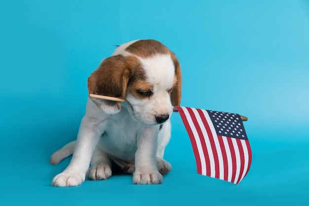 Cute of beagle clever puppy with flag american in the mouth Free Photo