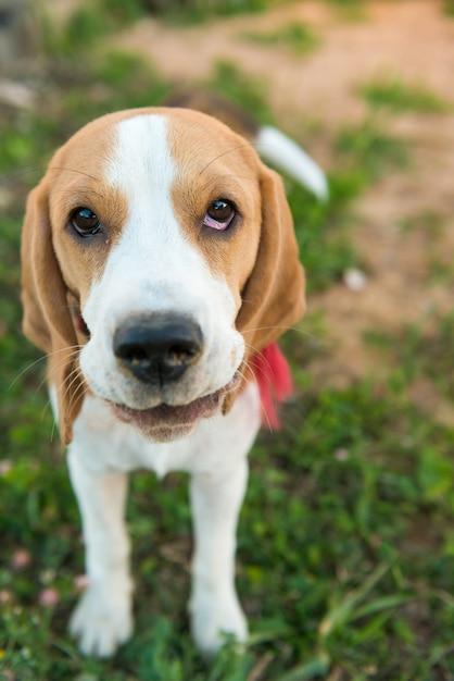 Cute beagle portrait photo free download cute beagle portrait free photo voltagebd Gallery