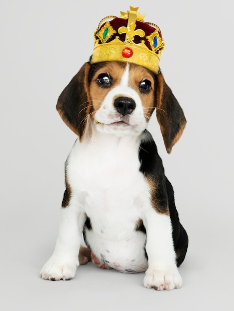 Cute beagle puppy in a classic gold and red velvet crown Free Photo