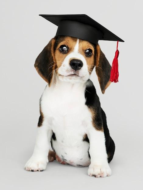 Cute beagle puppy in a graduation cap Premium Photo